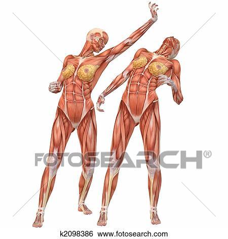 Stock Illustration - weiblich, menschlicher körper, anatomy-street ...