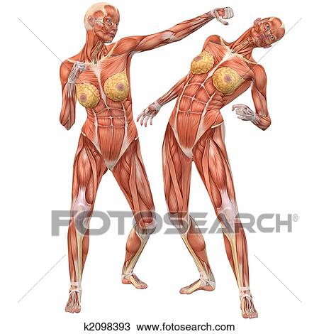 Zeichnung - weiblich, menschlicher körper, anatomy-street, kampf ...