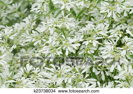 Stock Foto - weisse blumen, hintergrund, -, euphorbia, leucocephala ...