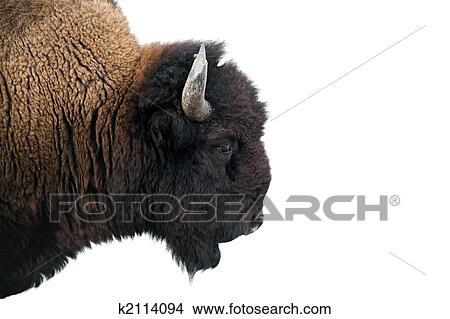 Amerikanischer bison,  , büffel, freigestellt, auf, white., bild, kugel,  in, yellowstone nationalpark, gegen, überbeleuchten, schnee, hintergrund. 9c77825a17