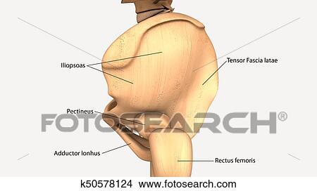 Dibujos - 3d, ilustración, de, cuerpo humano, hueso de la cadera ...