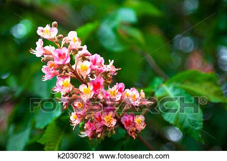 Stock photography of bunch of pink flowers of the horse chestnut bunch of pink flowers of the horse chestnut tree mightylinksfo