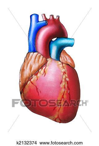 Dibujos - corazón humano k2132374 - Buscar Clip Art, Ilustraciones ...