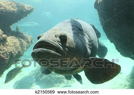 Stock Photograph Of Goliath Grouper K2150569 Search Stock