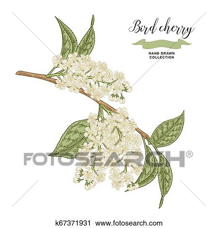 Bird Cherry Branch Isolated On White Background Hand Drawn Bird Cherry Flowers Botanical Vector Illustration Clipart