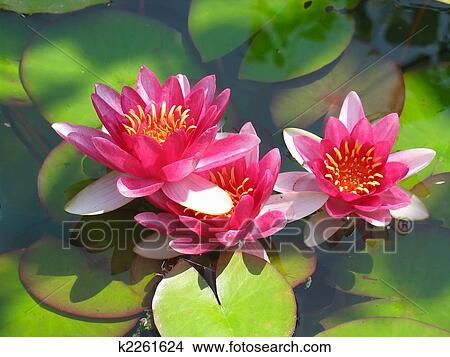 banque de photo beau fleurir rouges n nuphar lotus. Black Bedroom Furniture Sets. Home Design Ideas
