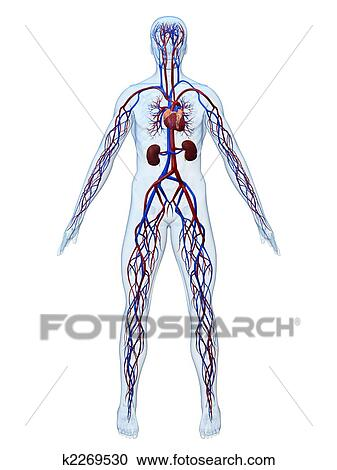 Stock Illustrations of cardiovascular system k2269530 - Search ...