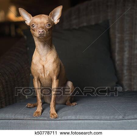 Cute Mini Pinscher Dog Stock Image K50778711 Fotosearch