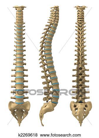 Colección de ilustraciones - espina dorsal humana k2269618 - Buscar ...