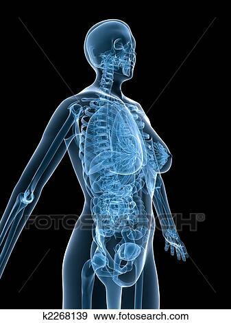 Colección de ilustraciones - hembra, anatomía k2268139 - Buscar ...