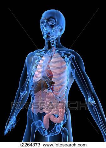 Dessin Corps Humain Organes dessin - humain, organes k2264373 - recherchez des cliparts, des