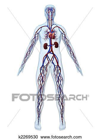Colección de ilustraciones - sistema cardiovascular k2269530 ...