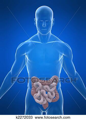 Drawing of human intestines k2272033 - Search Clipart, Illustration ...