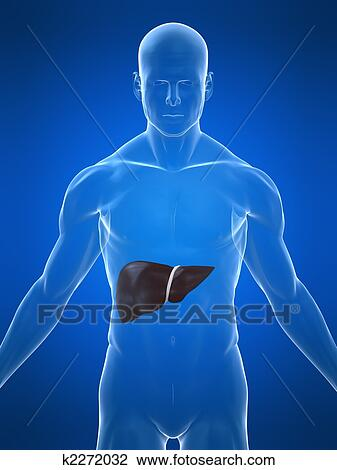 Clip art of human liver k2272032 search clipart illustration 3d rendered illustration of a transparent body with liver ccuart Choice Image