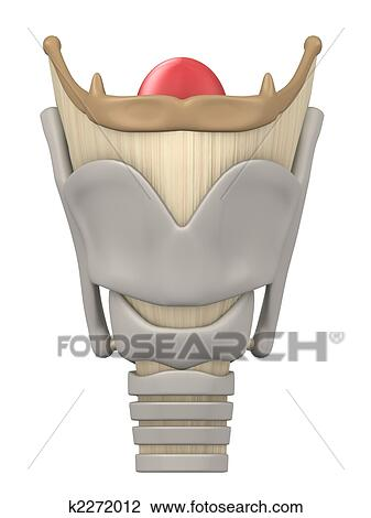 Clip Art - laringe, anatomía k2272012 - Buscar Clip Art ...