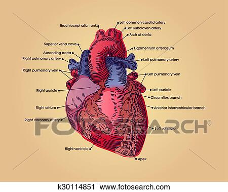 Clipart of Anatomical heart k30114851 - Search Clip Art ...