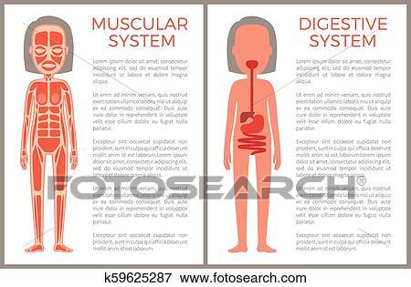 Muscular E Sistemas Digestivos De Mulher S Corporal