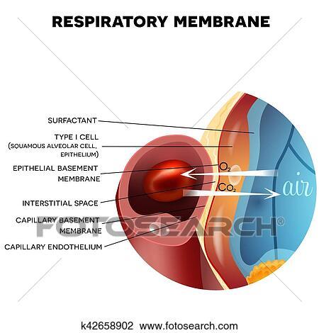Clipart of Respiratory membrane of alveolus k42658902 - Search Clip ...