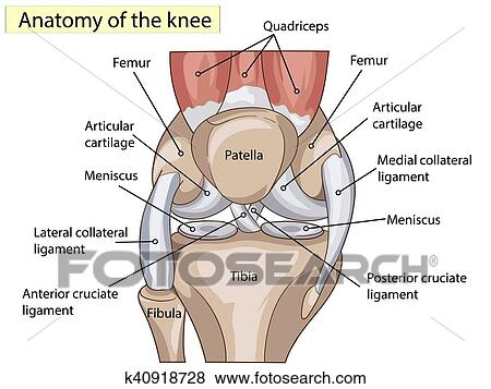 Clip Art Of Anatomy Structure Knee Joint Vector K40918728 Search