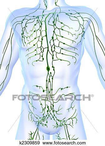 Colección de ilustraciones - sistema linfático k2309859 - Buscar ...