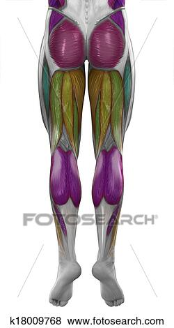 Stock Illustration of Male posterior legs muscles map colorized ...