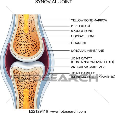 Clip Art of Labeled joint anatomy. Normal joint illustration ...