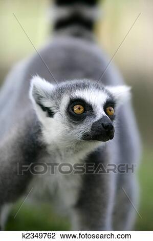 Colección de foto - madagascar, lemur atado anillo k2349762 - Buscar ...