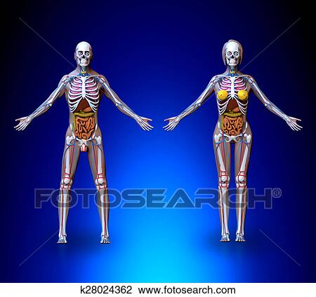 Clip Art - anatomía, macho, hembra k28024362 - Buscar Clip Art ...