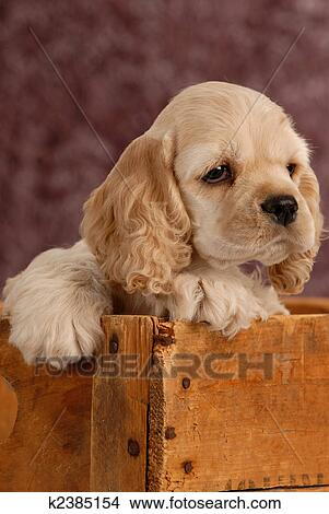 stock photo of american cocker spaniel puppy with in a wooden box