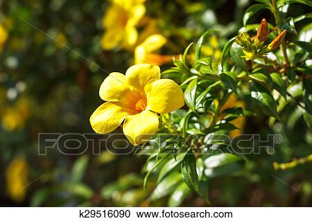 Stock Photography Of Yellow Allamanda Flower Golden Trumpet Vine