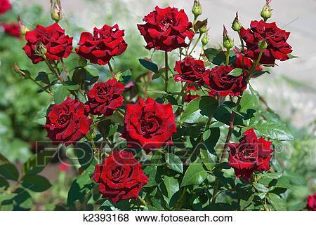 Immagini Cespuglio Di Rose K2393168 Cerca Archivi Fotografici