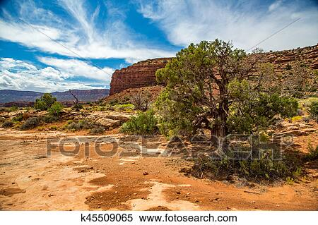 Stock Image Of The Juniper Tree K45509065 Search Stock Photos