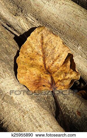 Dry leaves of the Bodhi tree Stock Image