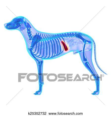 Colección de foto - perro, bazo, -, lupus de canis, familiaris ...