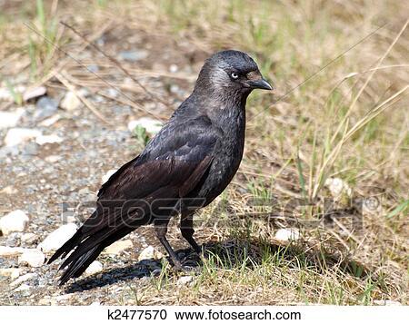 Εικόνα του μεγάλο μαύρο πουλί