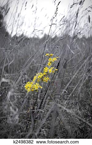 Stock photo of yellow flowers in black and white meadow k2498382 stock photo yellow flowers in black and white meadow fotosearch search stock photography mightylinksfo