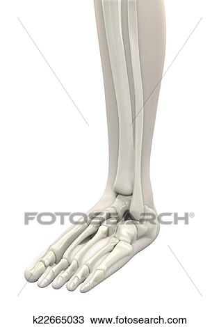 Human Foot Anatomy Drawing K22665033 Fotosearch