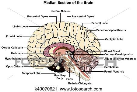 Clipart - mediana, sección, de, cerebro humano, diagrama k49070621 ...