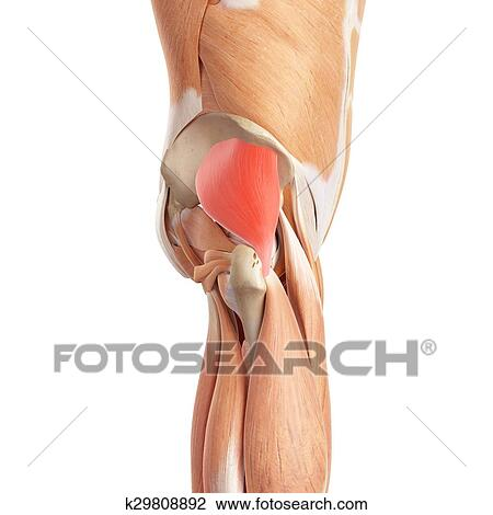 Clip Art Of The Gluteus Minimus K29808892 Search Clipart