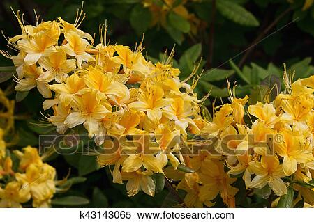 Yellow Rhododendrons Stock Photography K43143065 Fotosearch