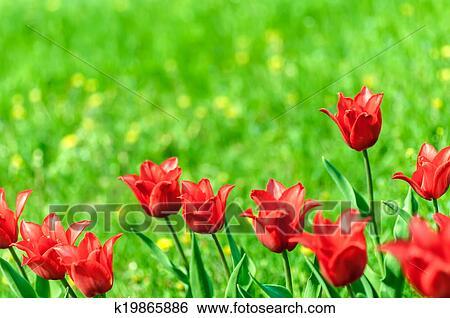 Lampada Fiore Tulipano : Archivio di immagini fondo è fiori rossi di tulipano in il