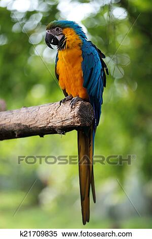 stock image of blue and gold macaw parrot k21709835 search stock