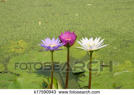 Lotus blossoms or water lily flowers blooming on pond