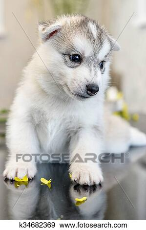 Stock Photograph Of Siberian Husky Puppy With Blue Eyes K34682369