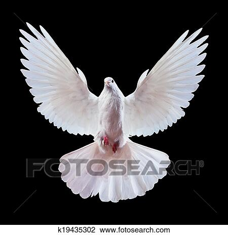 stock photo of a free flying white dove isolated on a black