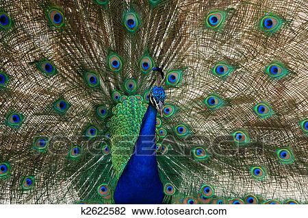 stock foto - pauw, vogel, dans k2622582 - zoek stock fotografie