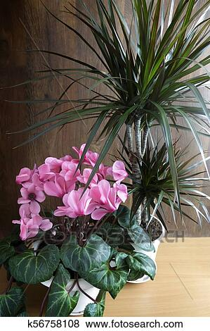 Pictures of potted flowers cyclamen and dracaena k56758108 potted flowers blooming pink cyclamen and tropical plant dracaena mightylinksfo