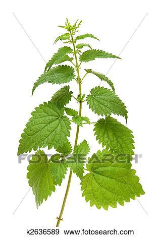 Banque de photographies vert ortie plante k2636589 for Plante ortie
