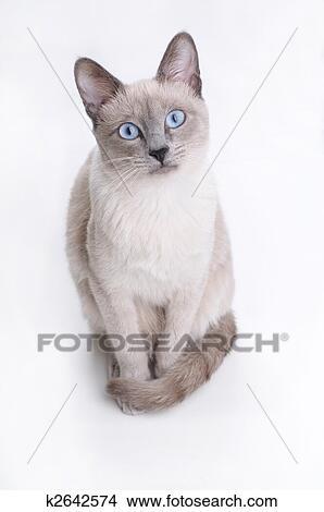 Gatto Siamese Osservare Dentro Tuo Occhi Immagine K2642574