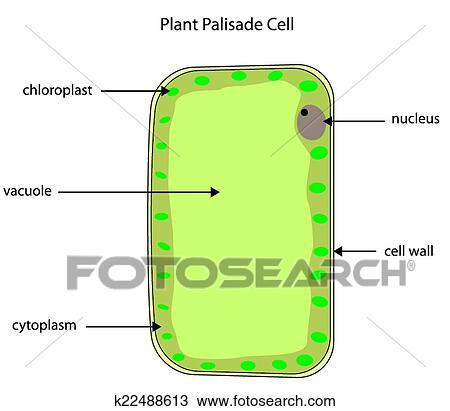 Clipart - etiquetado, diagrama, de, planta, empalizada, célula ...